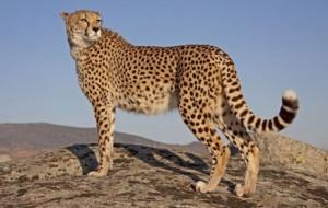 Ekspertët: Gepardët, drejt zhdukjes