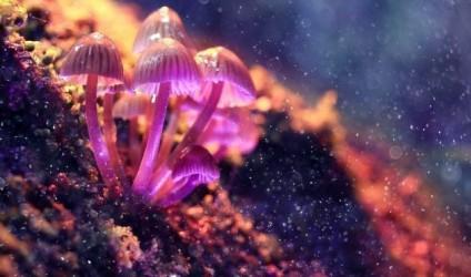 Kërpudhat haluçinogjene prodhohen në laborator!